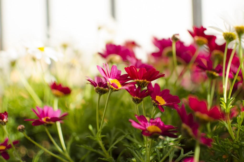 Que haya tantas flores es un claro signo de que la planta no tiene ningún déficit nutricional.
