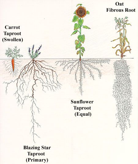 types of root system