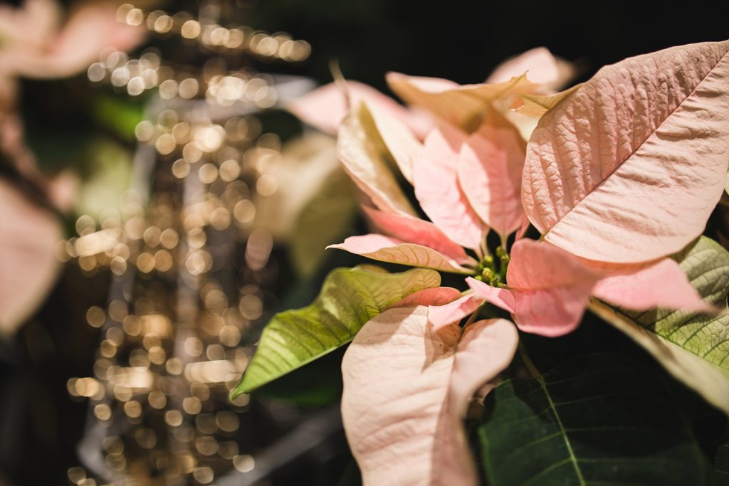 Flor de Pascua rosa